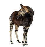 Okapi standing, looking back, Okapia johnstoni, isolated Stock Photo