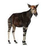 Okapi standing, mooing, Okapia johnstoni, isolated Royalty Free Stock Photos