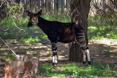 An okapi standing in the shade. A lone okapi standing with it`s head up in the shade at a manmade watering-hole Royalty Free Stock Photos