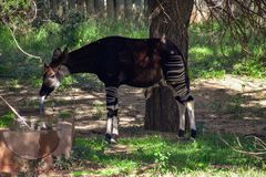 An okapi standing in the shade. A lone okapi standing in the shade at a manmade watering-hole dringking water with a very long tongue Royalty Free Stock Photography