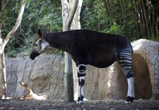 Okapi Standing Near the Forest. An okapi stands on dirt near the edge of the forest Stock Image