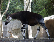 Okapi Walking Away from Woods. An Okapi starts to walk away from the wooden area Royalty Free Stock Photos