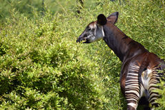 Okapi in the vegetation. Okapi (Okapia johnstoni) viewed from behind among vegetation Royalty Free Stock Photos