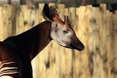Okapi. View of an okapi in profile Stock Photography