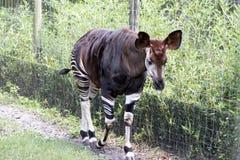 Okapi Walking Royalty Free Stock Photo