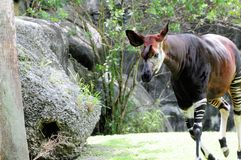 Okapi walking in zoo Stock Images