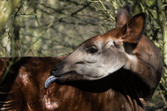 Okapi & x28;Okapia johnstoni& x29; with tongue extended Stock Photo