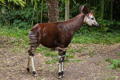 Okapi (Okapia johnstoni). Royalty Free Stock Photography