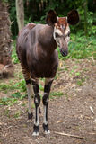Okapi (Okapia johnstoni). Royalty Free Stock Image