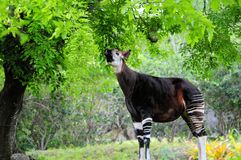 Okapi in zoo. Okapi eating tree leaves in a South Florida zoo.  Zoos are working cooperatively to save the okapis in captivity and in the wild.  Although the Stock Photo
