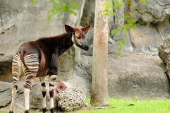 Okapi in a zoo. Okapi in a South Florida zoo.  Zoos are working cooperatively to save the okapis in captivity and in the wild.  Although the okapi bears striped Royalty Free Stock Photo