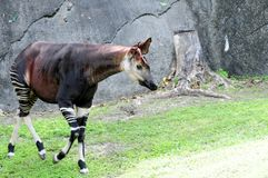 Okapi in zoo Stock Images
