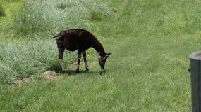 Okapia do girafa da floresta que reune a grama Foto de Stock