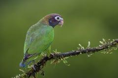Okapturzająca papuga - Pyrilia haematotis zdjęcia stock