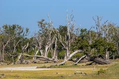 Okavango沼泽的死的森林 库存照片