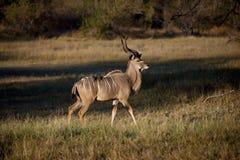 okavango мужчины kudu перепада Ботсваны Стоковая Фотография RF