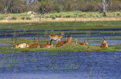 Okavango Fotografia de Stock Royalty Free