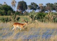 Okavango Delta. A lechwe strolls though the Okavango delta in Botswana, Africa Royalty Free Stock Photos