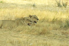 Okavango Delta Botswana, Africa Royalty Free Stock Images