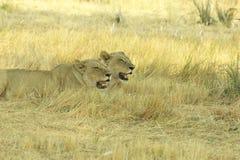 Okavango-Delta Botswana, Afrika Lizenzfreie Stockbilder