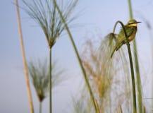 Okavango Delta and one bee eater Royalty Free Stock Photos