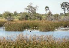 Okavango Delta. Waterside scenery at the Okavango Delta in Botswana, Africa Royalty Free Stock Photo