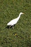 okavango egret перепада скотин Ботсваны Стоковое Изображение