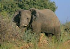 Okavango elephant. An adolescent bull elephant in the Okavango Delta in Botswana, Africa Stock Photos