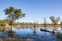 Okavango. Flooded landscape with grassland and dead trees of the Okavango Delta; Moremi Game Reserve; Botswana Royalty Free Stock Image