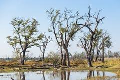 Okavango swamps in Moremi game reserve. National park, Okavango Delta, Botswana Stock Photo