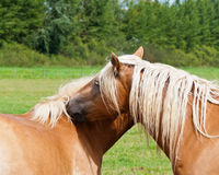 Okay, only one kiss.... Hugging brown horses with blonde mane and a natural green background Royalty Free Stock Photography