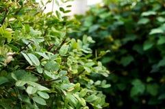 Okazyjna akacja w zieleni obrazy royalty free
