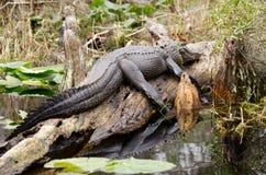 Okefenokee沼泽取暖公牛的鳄鱼 免版税库存图片