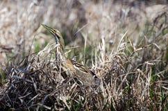 Okefenokee American Bittern. American Bittern Peering from Reeds in Okefenokee Swamp Park stock photos