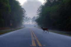 Okefenokee Deer. Deer Doe crossing the road in the Okefenokee Swamp on foggy morning royalty free stock photo