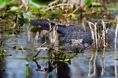 Okefenokee Gator. Swamp gator staring down canoe stock images