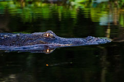 Okefenokee Swamp Alligator at night. American Alligator swimming through Okefenokee Swamp at sunset with glowing eyes Royalty Free Stock Images