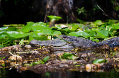 Okefenokee Swamp Alligator Royalty Free Stock Photos