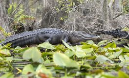Okefenokee Swamp large alligator on lily pads royalty free stock photo