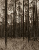 Okefenokee wildlife refuge after the fire. Pine trees in Okefenokee wildlife refuge with new grass growing under the trees Stock Images