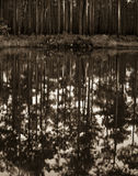 Okefenokee wildlife refuge after the fire. Pine trees in Okefenokee wildlife refuge with new grass growing under the trees reflected in the water of a small lake Stock Image