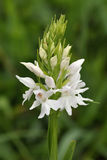 Okellys Spotted Orchid Royalty Free Stock Image
