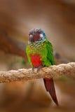 Oker-Ochre-marked Parkiet of blauw-Throated Parkiet, Pyrrhura-cruentata, zeldzame papegaai van de aard van Brazilië Het portret v stock fotografie
