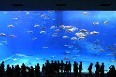 Okinawa Aquarium. Is the world's largest exhibition of marine life ecology and aquarium. With whale sharks and 260 species of tropical fish Royalty Free Stock Photos
