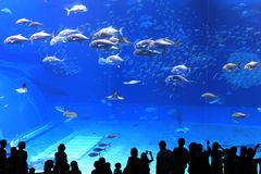 Okinawa Aquarium. Is the world's largest exhibition of marine life ecology and aquarium. With whale sharks and 260 species of tropical fish Royalty Free Stock Image