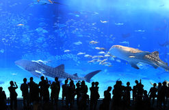 Okinawa Aquarium. Is the world's largest exhibition of marine life ecology and aquarium. With whale sharks and 260 species of tropical fish, visitors can watch Stock Photography