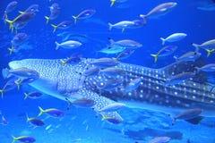 Okinawa Aquarium Stock Image