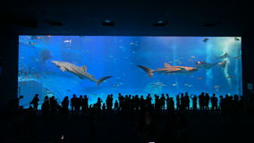 Okinawa Aquarium 4K with Beautiful Whale Sharks. The world largest aquarium tank. People can see groups of whale sharks and manta rays swimming. Location stock video
