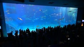 Okinawa Aquarium 4K with Beautiful Whale Sharks. stock video