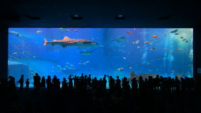 Okinawa Aquarium 4K with Beautiful Whale Sharks. The world largest aquarium tank. People can see groups of whale sharks and manta rays swimming. Location stock video footage